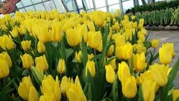Оранжерея тюльпанов на Винперл