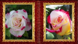 Красавица роза
