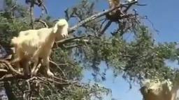 горные козы
