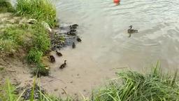 Утка с малышами у берега