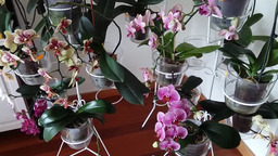 Мои цветущие орхидеи Август 2019 г.